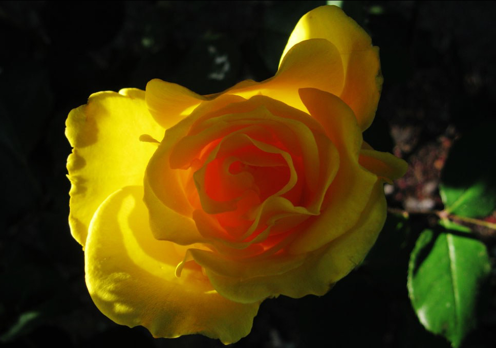 Rose with morning light